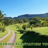Travel to Croydon In The Mountain in the hilly countryside of Catadupa,close to Montego Bay.Its is a working Plantation famously known for its tasty pineapple and fine coffee beans.